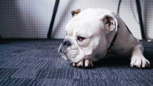 bulldog resting
